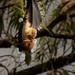 hanging bat