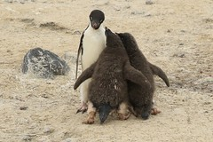 Pestering Chicks Resolute Parent Adelie Penguin Behaviour Possession Islands Ross Sea Antarctica