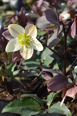 HELLEBORUS x nigercors 'Emma'