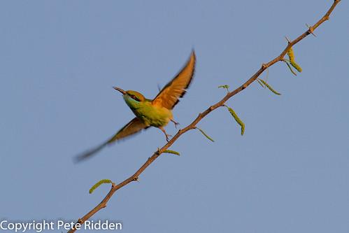 india birds beeeater indianbirds greenbeeeatermeropsorientalis