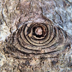 Me? Knot Eye - #olloclip #macro #tree
