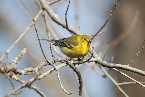Pine Warbler | by U.S. Fish and Wildlife Service - Midwest Region