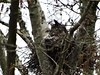 Great-horned Owl with chick