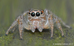 Female Sylvana jumping spider (Colonus sylvanus)