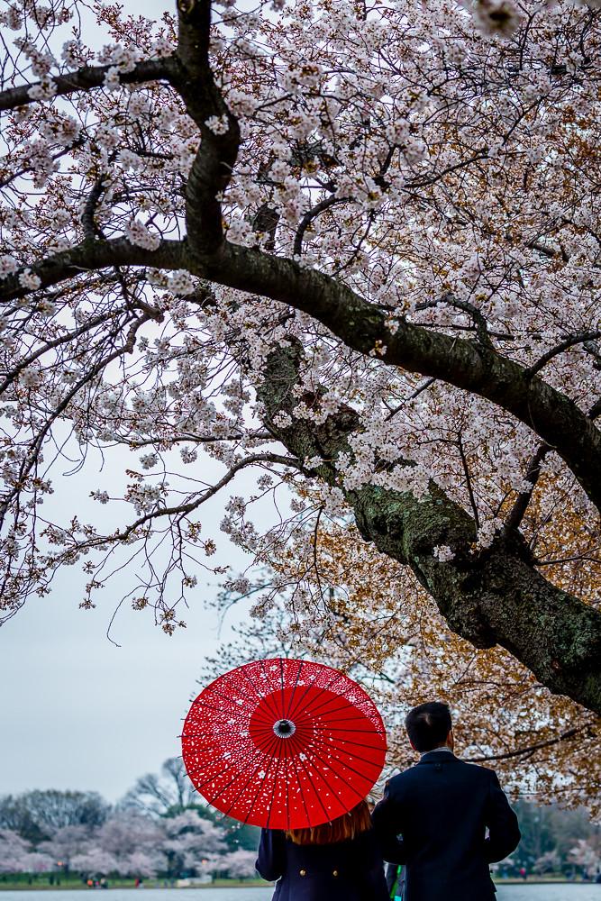 2017 华盛顿樱花-10