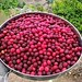 #himachali #fruits #kafal