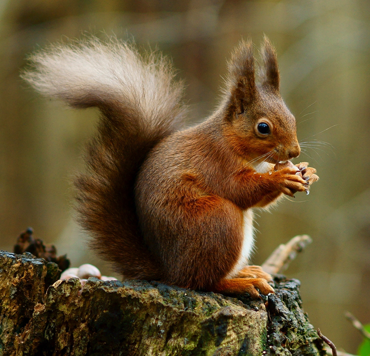 Red Squirrel. Credit Peter Trimming