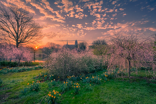 daffodils blossom spring morning sunrise dawn lawn