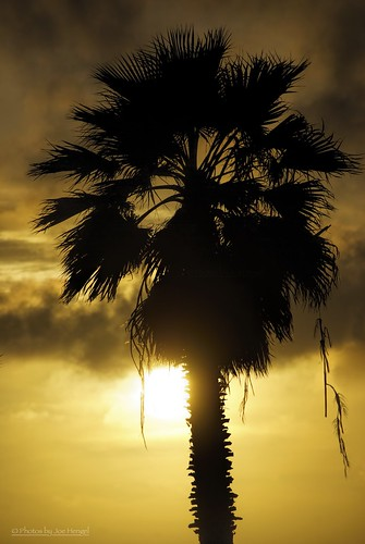 danapoint darkness evening eveninglight eveningskies palmtrees palmtree palm palmfronds socal southerncalifornia sunset seaside goldenstate golden goldenhour glow orangecounty oc outdoor tree trees theoc california ca clouds cloudsorangecounty cloudy silhouette silhouettes dangling