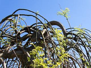 Strange willow tree