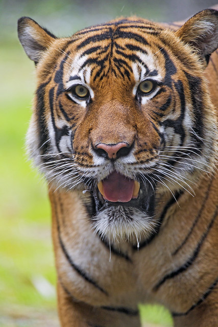 Malayan tiger with open mouth
