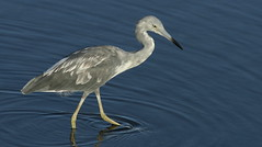 Little Blue Heron, Anclote Gulf Park