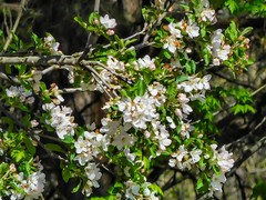 Beaty Landing apple blossoms