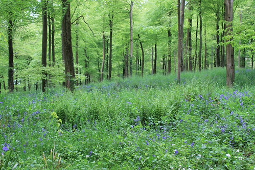 Bluebells, Charborough Park II