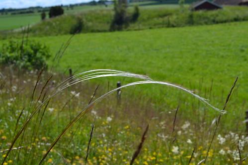 plant grass poaceae gräs feathergrass fjädergräs rödlistad