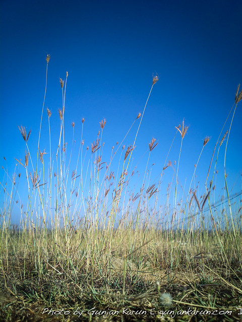 Grasses under the blue sky