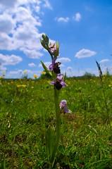 Ophrys bourdon de la Fresse (Bucey-les-Gy)