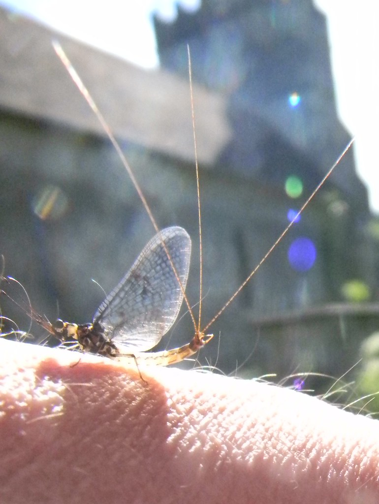 Mayfly, Cookham church There were plenty of these wafting up from the Thames Gerrards Cross to Cookham