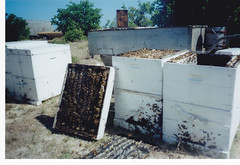 R. Finch's hives in the mangroves at Lower Light
