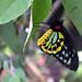Cairns Birdwing by Apryl Wiese