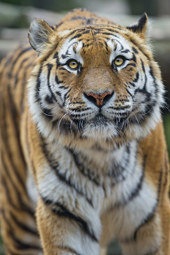 Attentive Toundra by Tambako the Jaguar