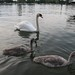 Swans in Lake Constance by sci2mrow_