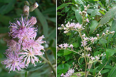 hyssopus(0.0), bee balm(0.0), wildflower(0.0), shrub(1.0), flower(1.0), plant(1.0), lilac(1.0), herb(1.0), flora(1.0), meadowsweet(1.0),