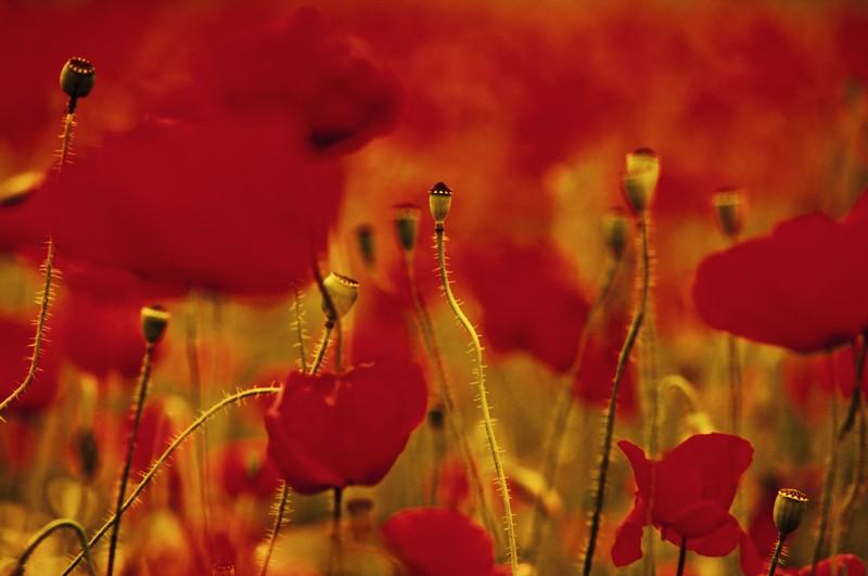 poppyfields13