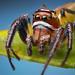Thiodina sylvana - Male Jumping Spider - Arizona by Thomas Shahan