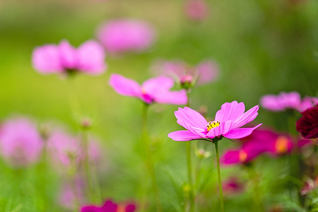 Cosmos loveliness