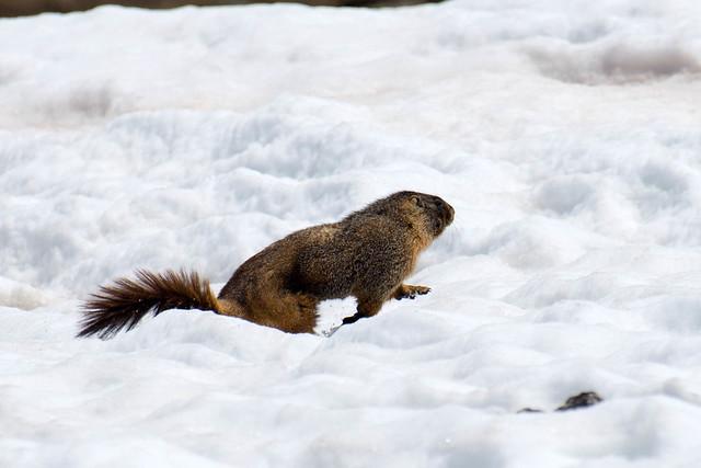 Nice marmot