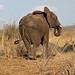 Small photo of African Bush Elephant: Loxodonta africana.