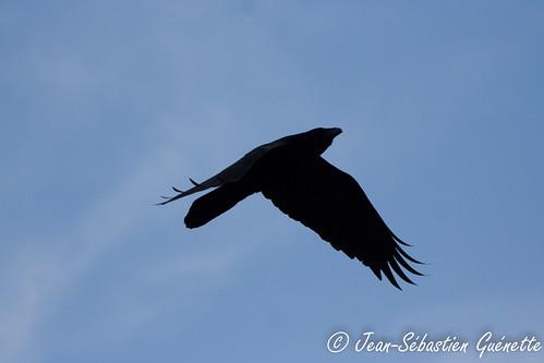canada bird golden wildlife birding ornithology birdwatching oiseau faune commonraven grandcorbeau ornithologie colombiebritannique