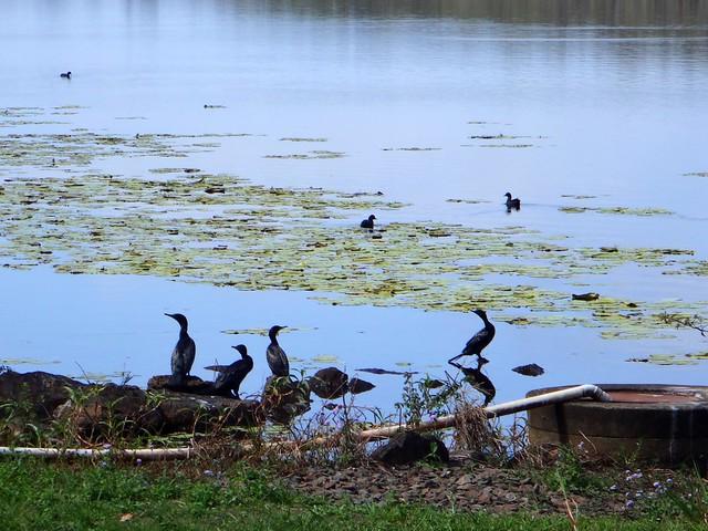 Birdlife, Lake Macdonald