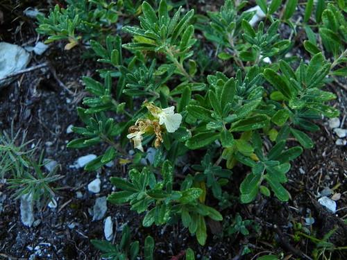 Teucrium montanum=Germandrée des montagnes