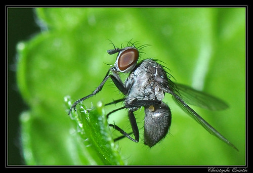 Coeonosia agromyzina femelle