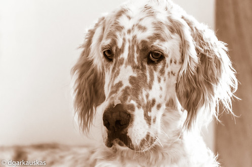 Peaked hairstyle [Banjo, English Setter]