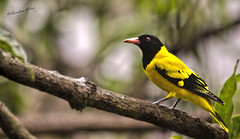 blackbird(0.0), animal(1.0), eurasian golden oriole(1.0), branch(1.0), fauna(1.0), finch(1.0), beak(1.0), bird(1.0), wildlife(1.0),