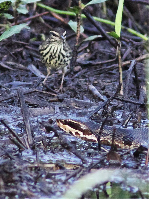 Northern Waterthrush with Cottonmouth 08-20131008