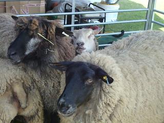 Photobomb!! Show sheep at Fibre East 2013