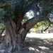 Small photo of Indaba Tree