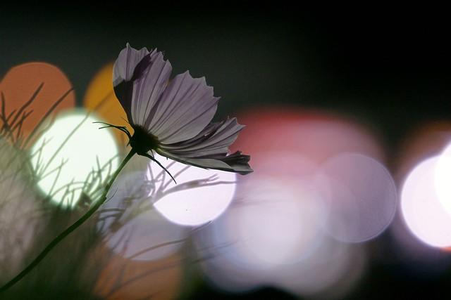 写真_「夜秋桜II」