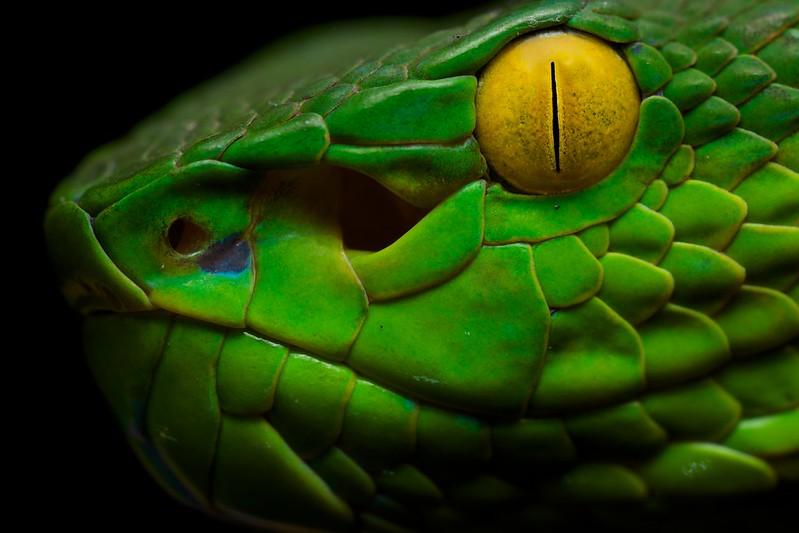 Pit viper snake wallpaper - photo#10