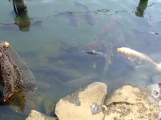 洗足池・鯉