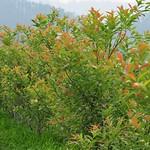 水社柳新葉紅色,配上心形的基部,號稱愛心樹。(圖片來源:七星生態保育基金會)