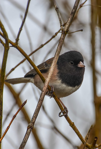 <p><i>Junco hyemalis</i>, Emberizidae<br /> George C. Reifel Migratory Bird Sanctuary, Delta, British Columbia, Canada<br /> Nikon D5100, 70-300 mm f/4.5-5.6<br /> January 24, 2014</p>