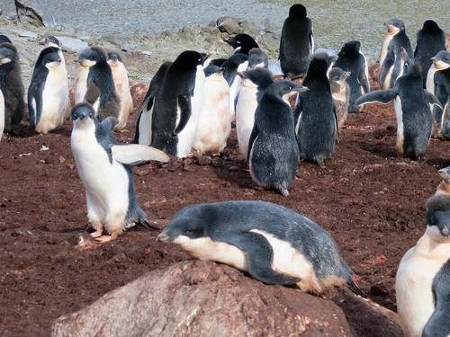 penguin antarctica chick poop colony krill adelie southshetlandislands turretpoint