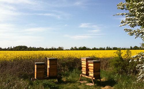 混合使用的殺蟲劑能導致蜜蜂的數量和生產力下降。 圖片來edd