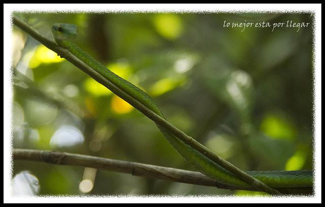 Parque Nacional Cahuita, Serpiente Verde