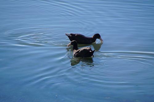 009 Noordelijke reuzenstormvogel